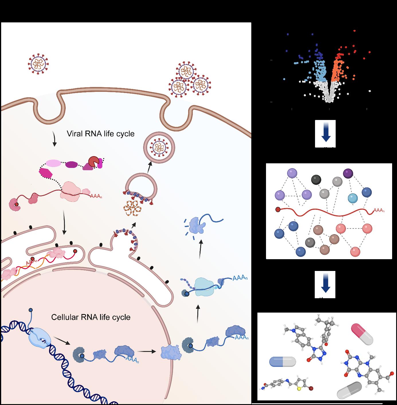 SARS-COV2 RNA illustration.