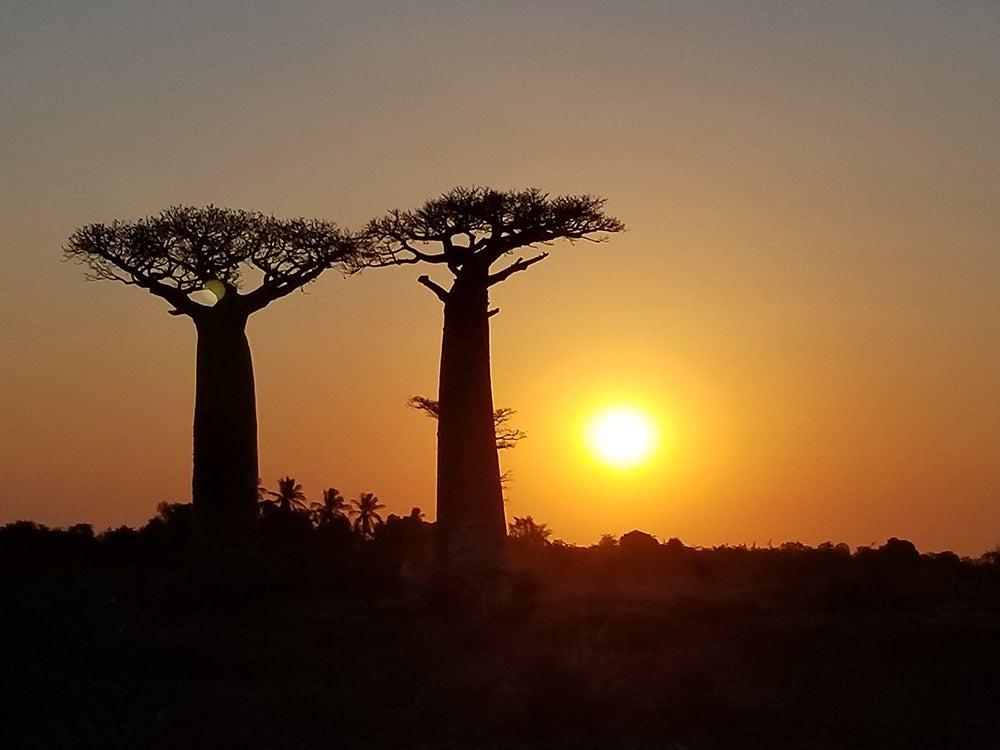 Baobabs in Madagascar - by Haja Arson, Unsplash.