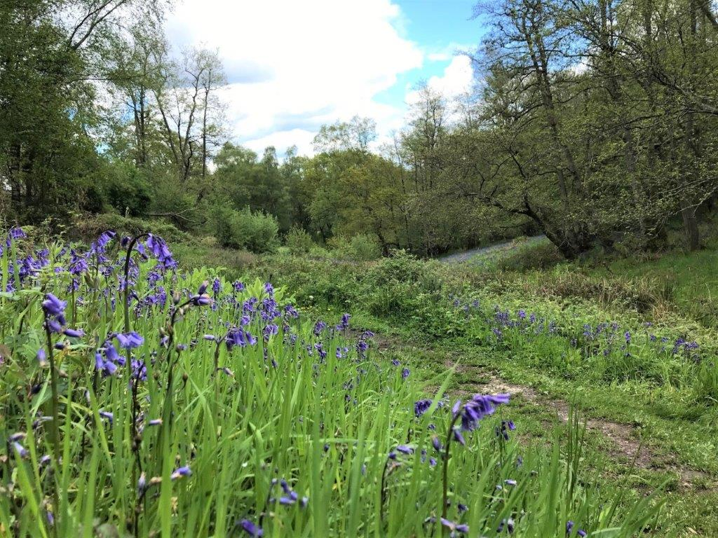 Local area image of Bluebells at Bowdown Woods in Newbury
