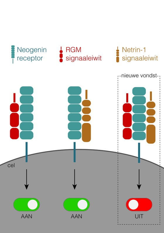 """The research shows that the signaling proteins RGM and Netrin-1 do not only bind separately to the (Neogenin) receptor of a cell, but can also bind both at the same time, with the result that the receptor """"switches off"""" and no signal is transmitted anymore."""