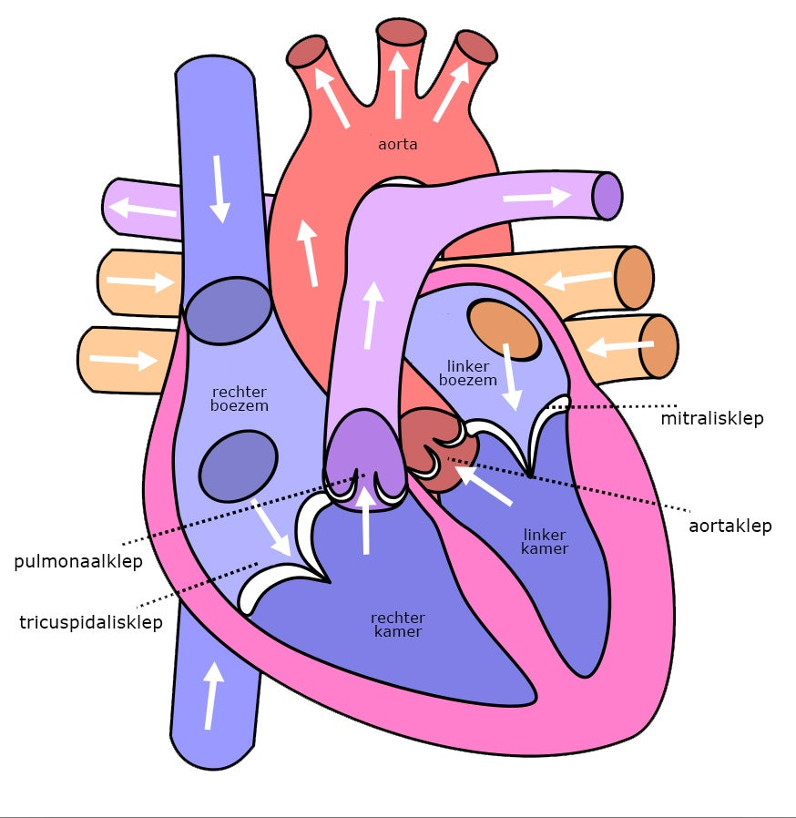 Hartkleppen en bloedstroom