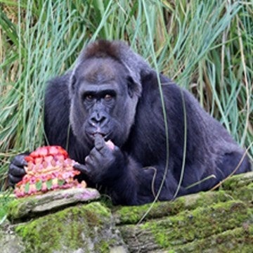 Gorilla eating a birthday cake