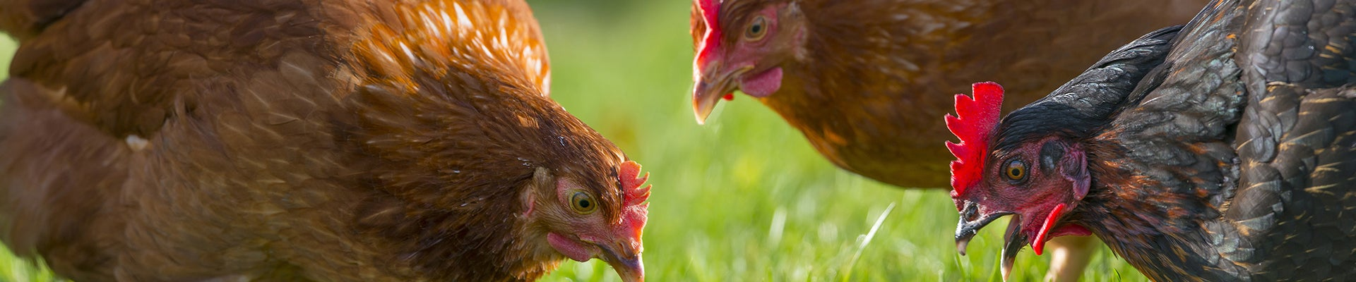 Poultry on grass background