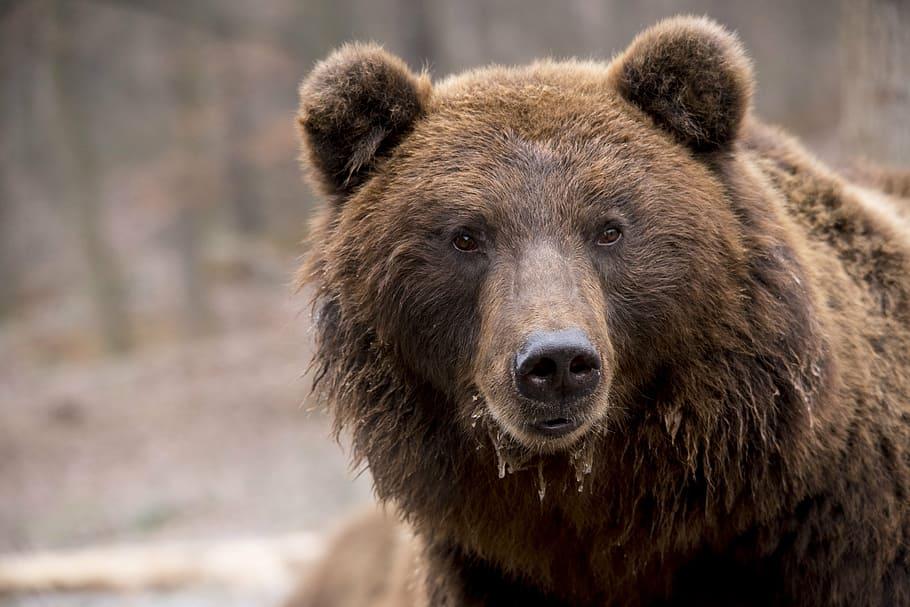 A photograph of a brown bear