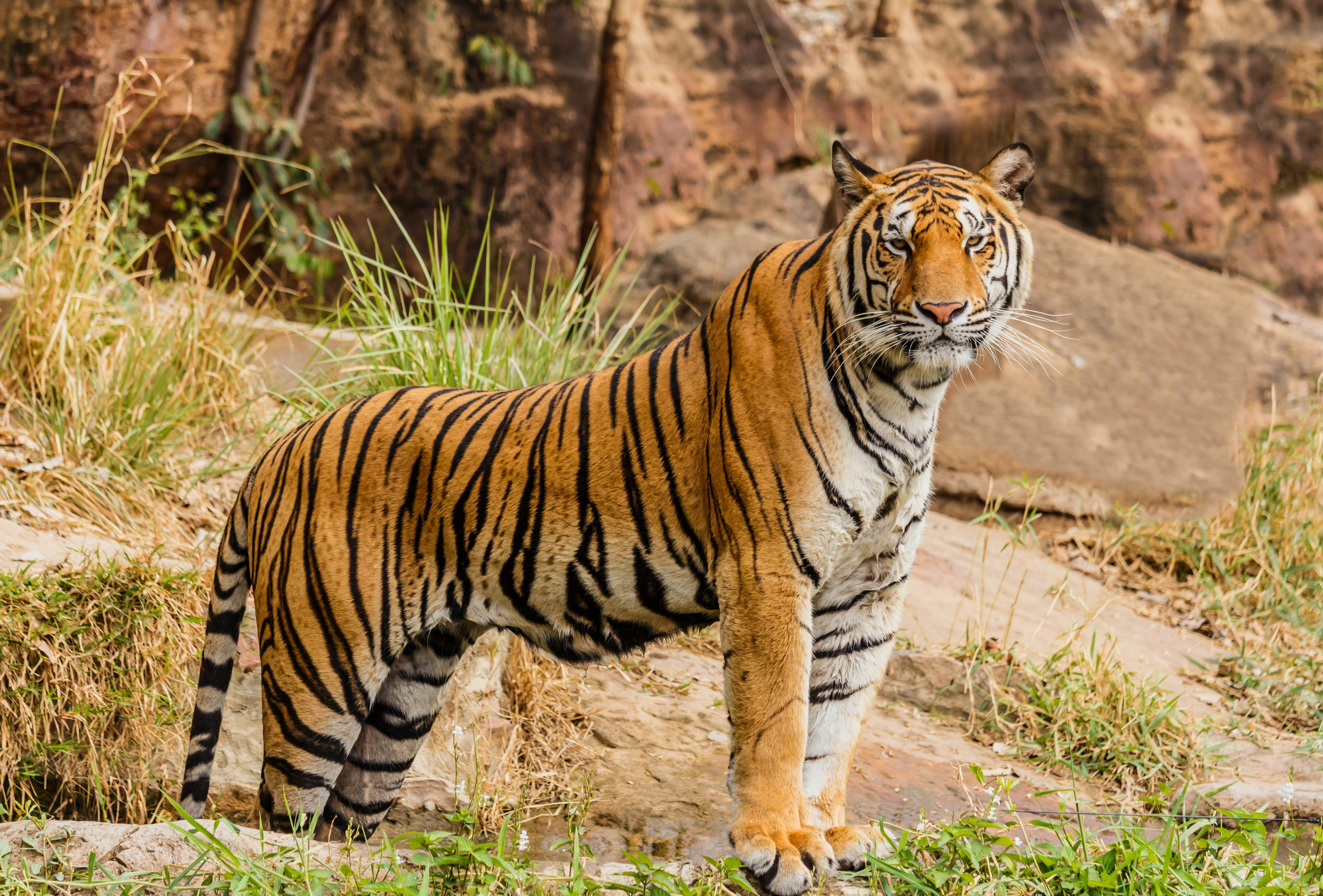 A Tiger stands on a rock