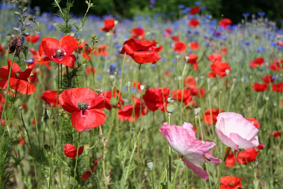Photo of a meadow full of poppies