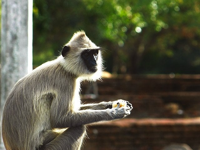A Macaque eating fruit