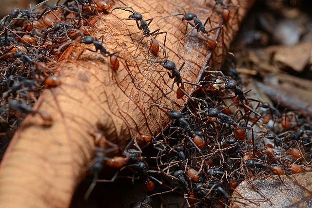 Army Ants crawl all over a leaf