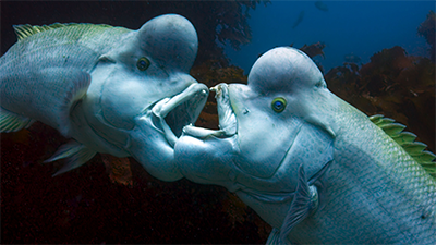 A pair of kobudai fish confront each other, mouth-to-mouth