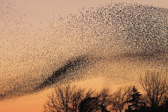 A Starling Murmuration above Gretna