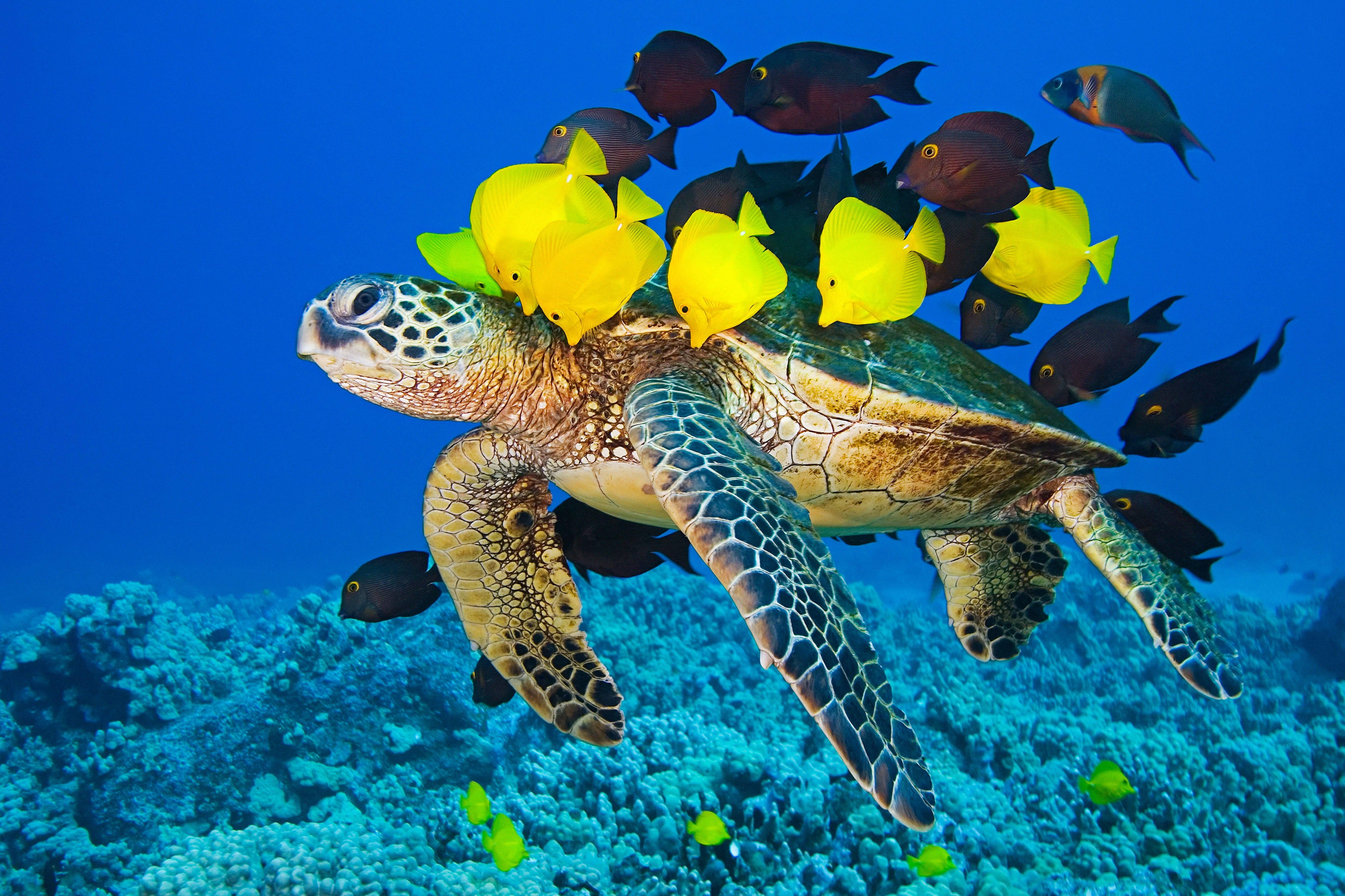 A Sea Turtle swims through the ocean, surrounded by fish