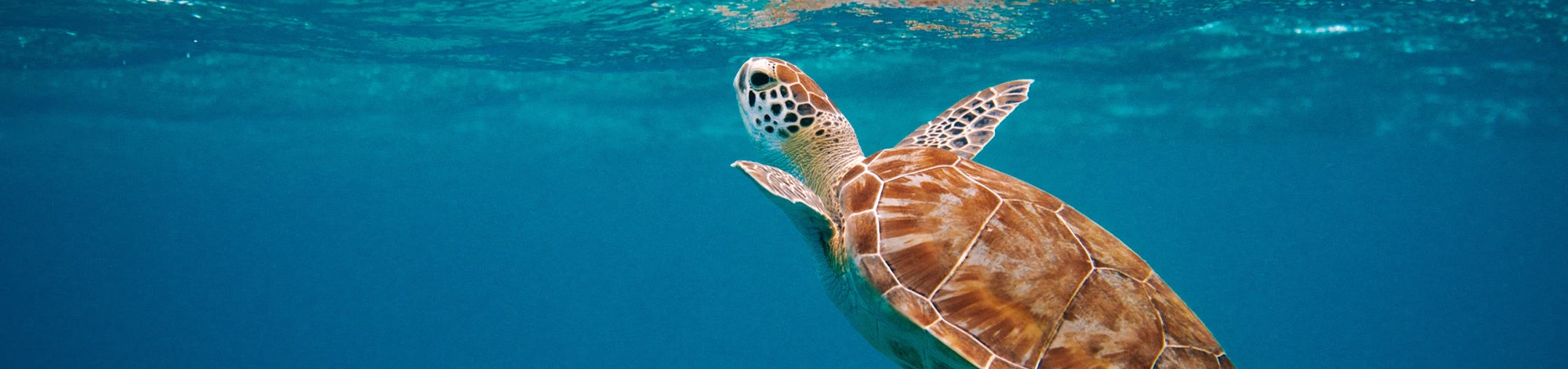 Sea turtle coming to the surface of the ocean