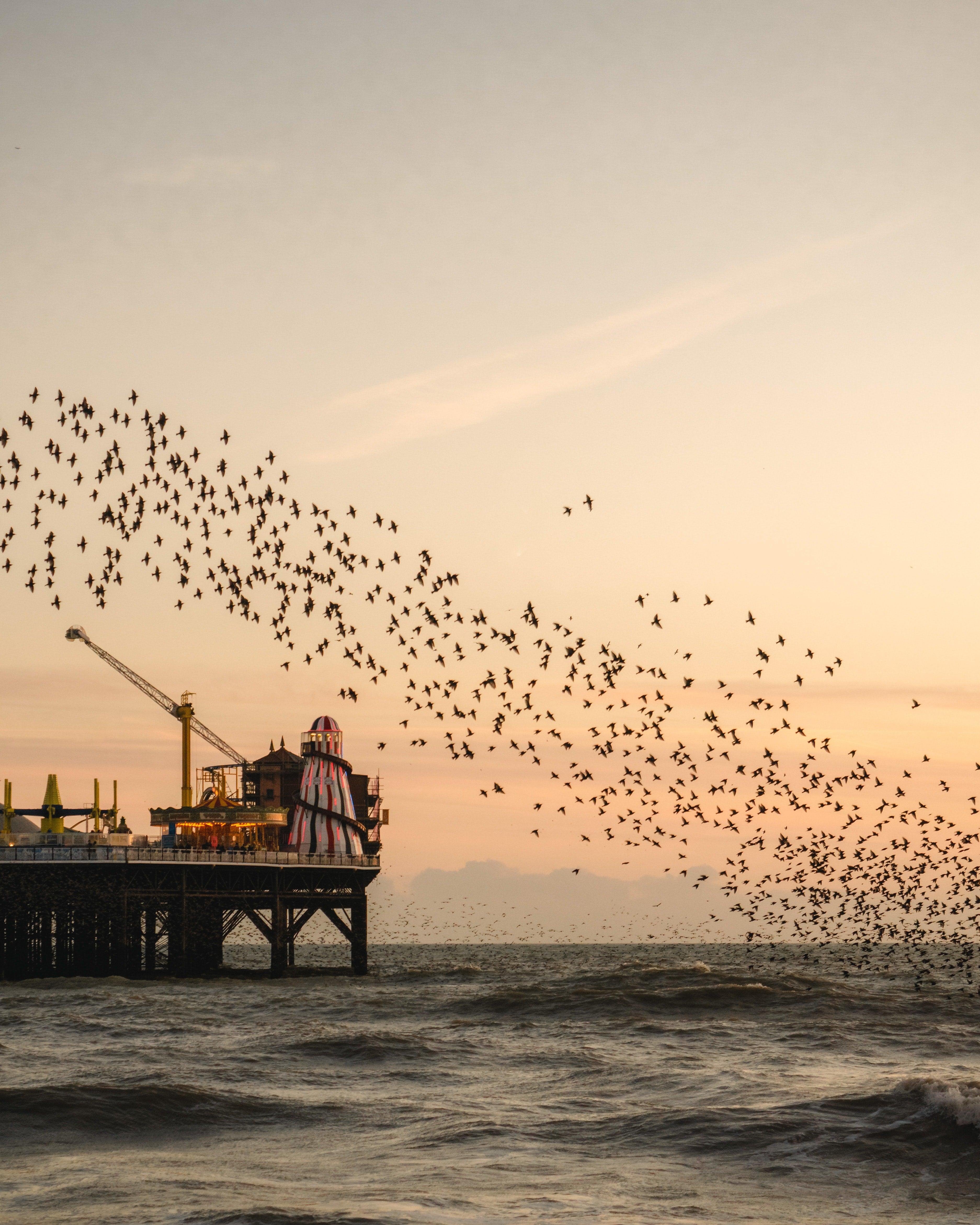 Starlings over Brighton pier