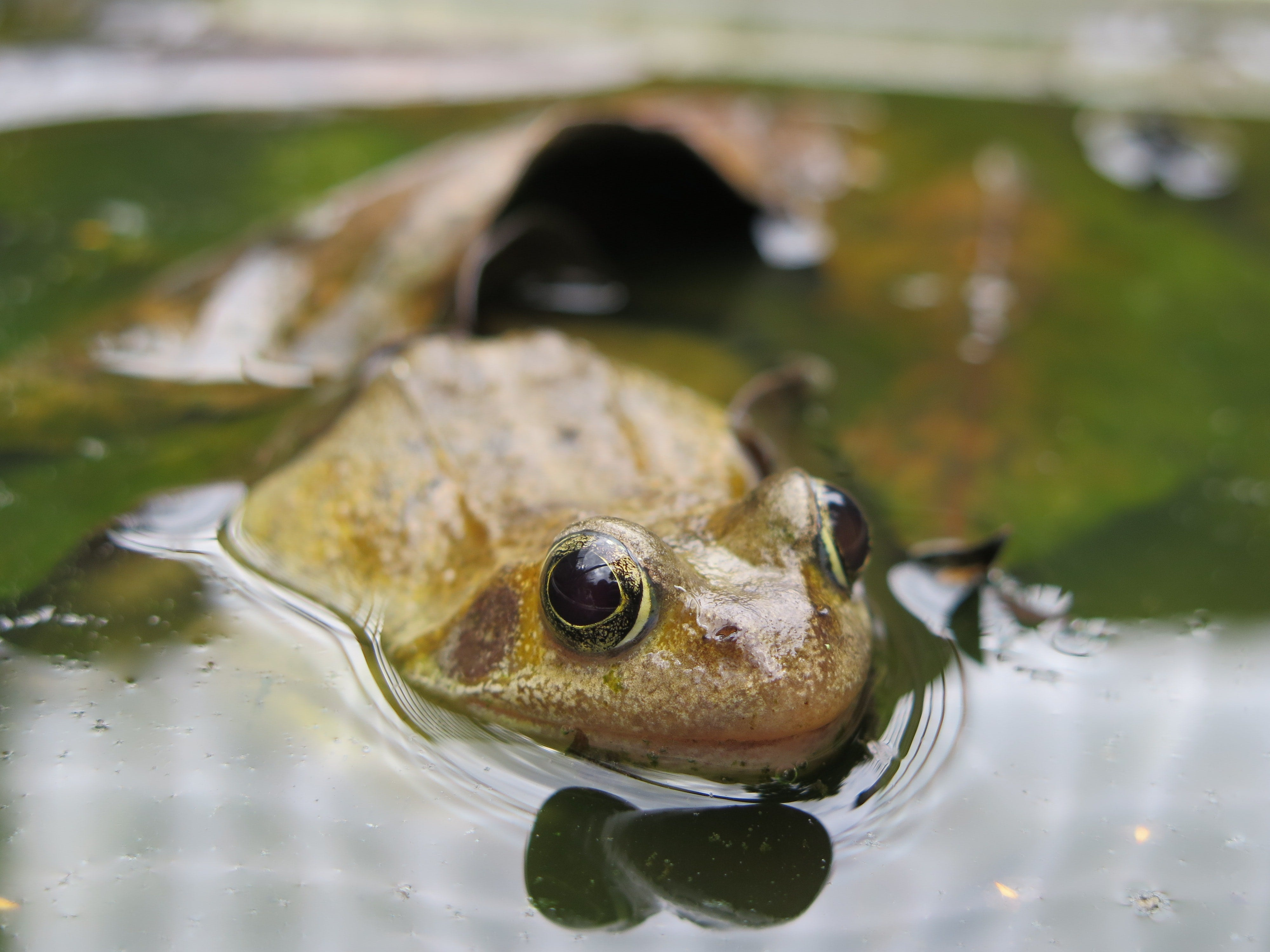 A frog, half-submerged in pond water