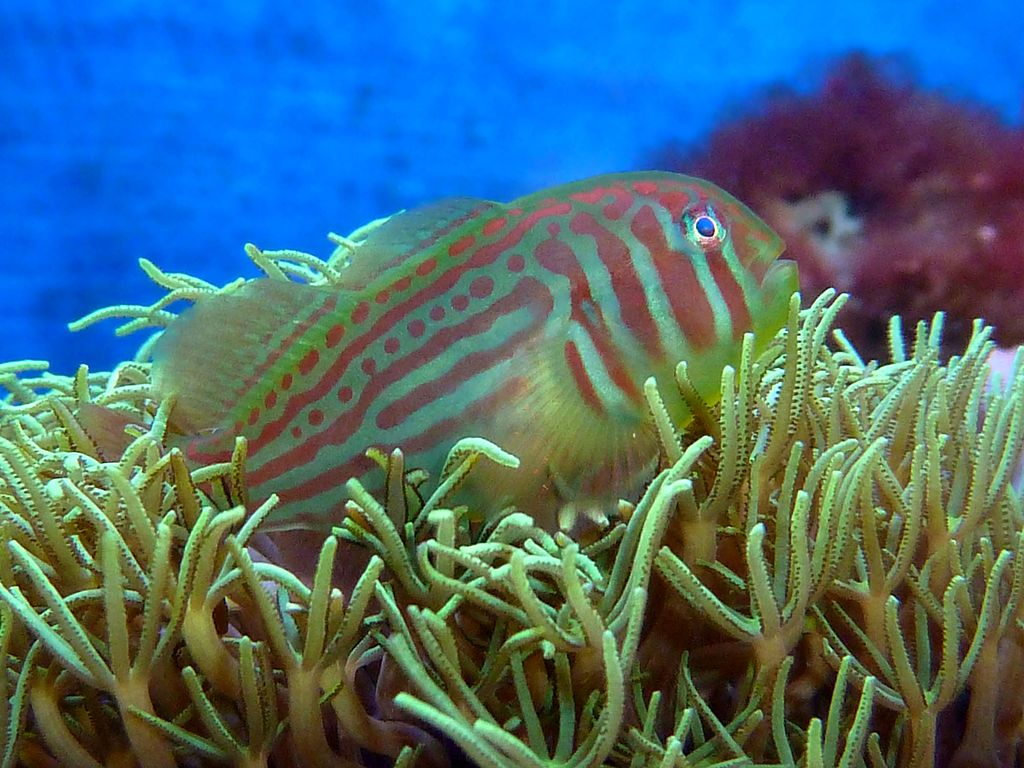 A picture of a purple and green coloured Gobiodon histrio fish resting among some underwater coral