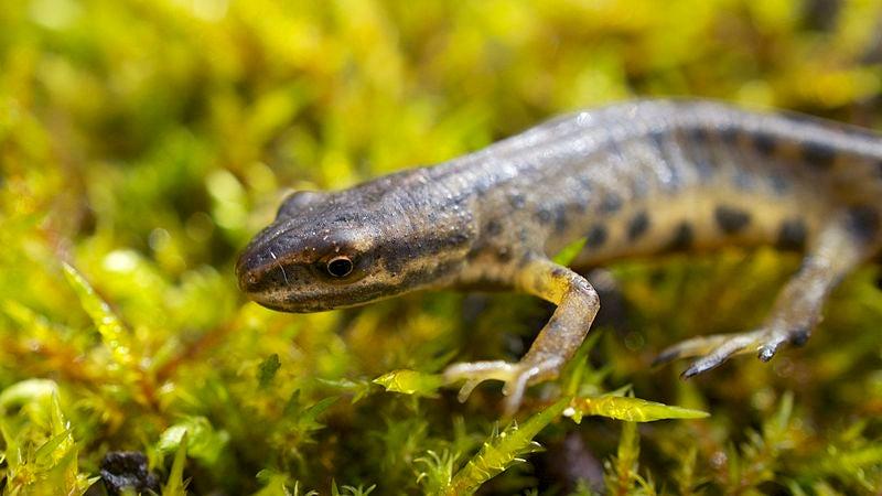 Common newt - Triturus Vulgaris