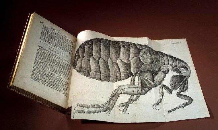 A photo of Hooke's flea