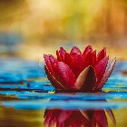 A photo of a red flower-head floating on water