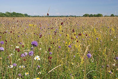 A photograph of a meadow stretching off into the distance, full of tall grass and flowers with purple, red and white heads