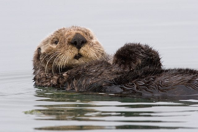A marine Otter on its back in the water