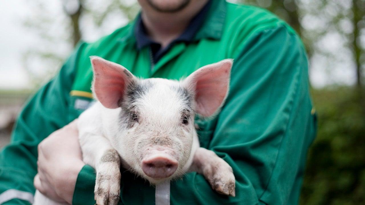piglet held by farmer