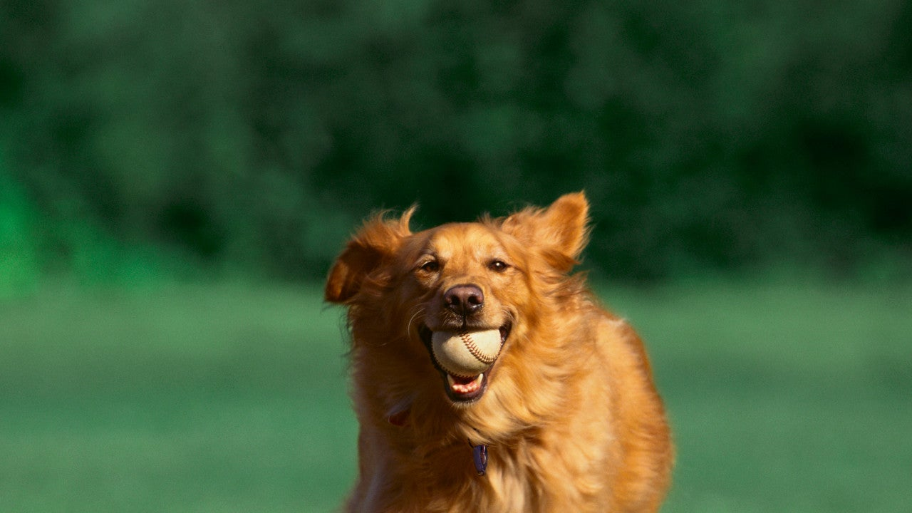 Dog running with a baseball in his mouth.