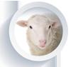 Cría de ovino