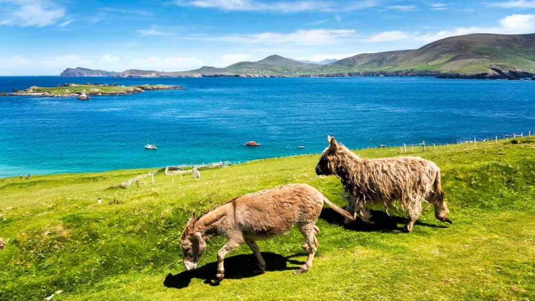 Two donkeys on the Blasket Islands, Kerry
