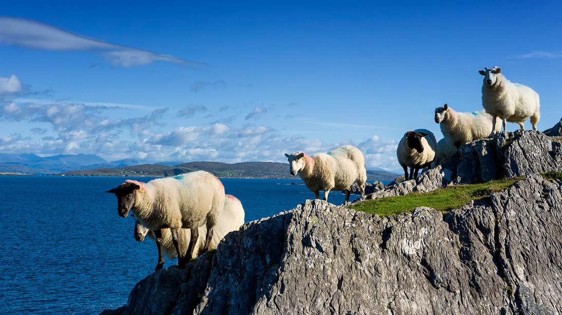 Sheep standing on a rock beside the sea in Coulagh Bay in West Cork