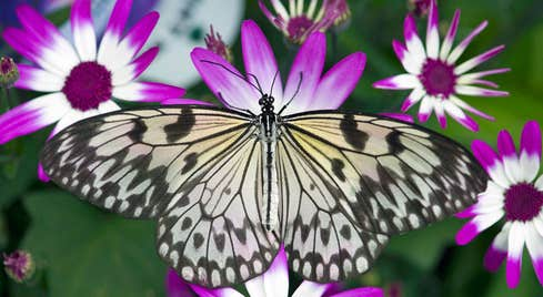 A brown Swallowtail butterfly on a purple plant