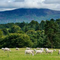 A flock of sheep grazing in front of Blackstairs Mountain, Co Carlow.