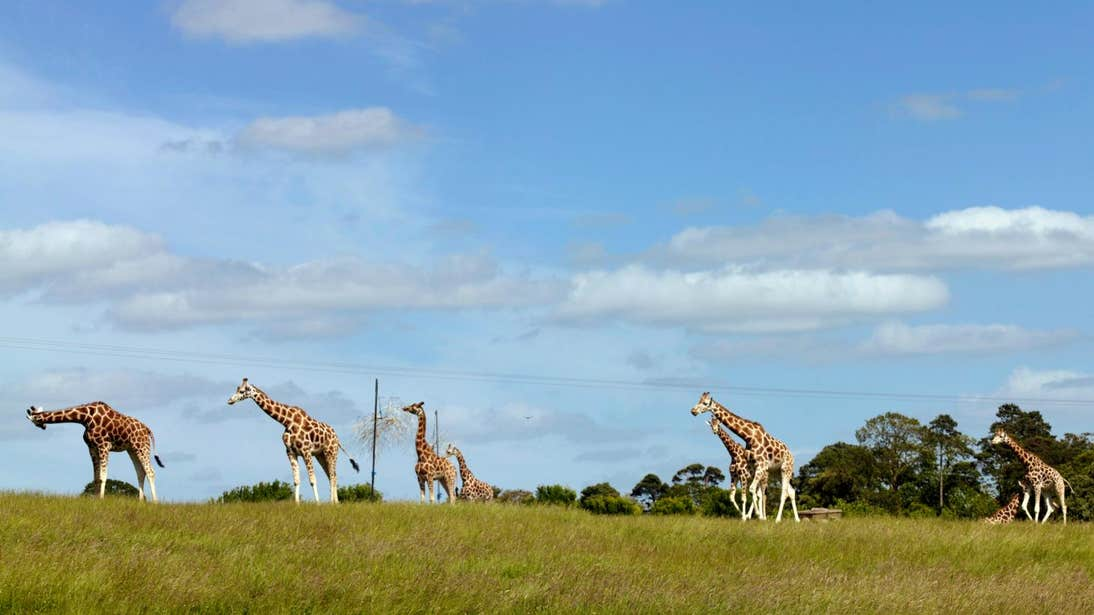 A group of giraffes standing in a field at Fota Wildlife Park in Co Cork.