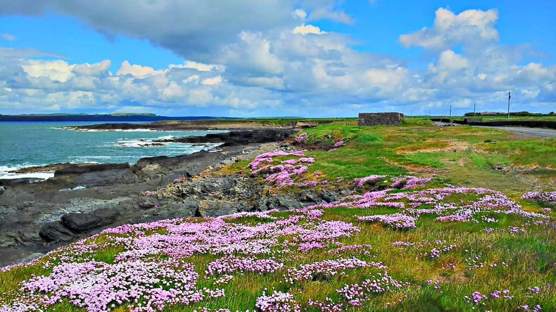 Pink flowers by the coast on Hook Head in Wexford