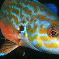 A yellow and white fish swimming and looking at the camera