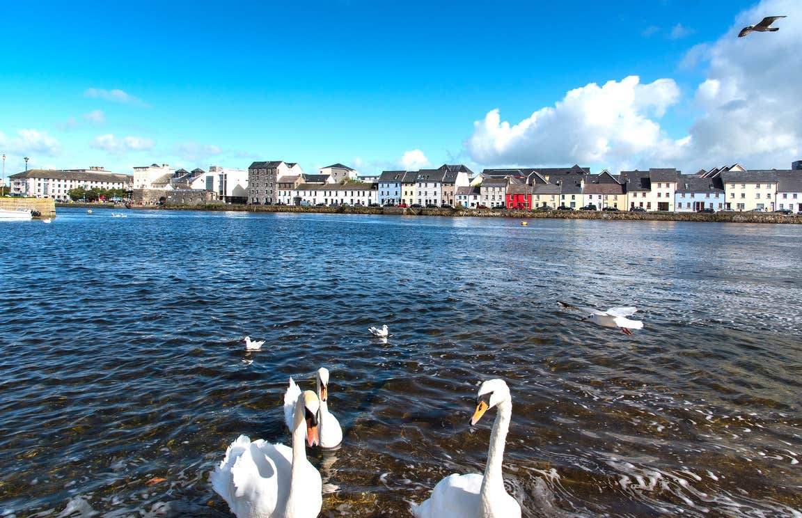 A group of swans in the water in Galway City