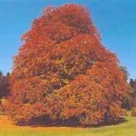 The Autograph Tree