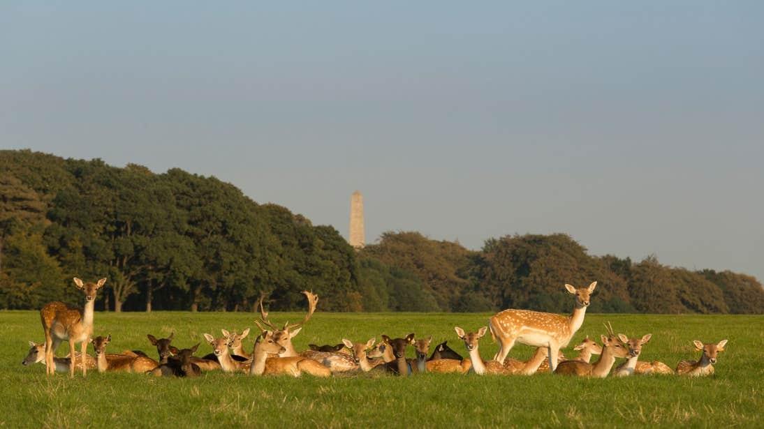 Deer sitting in a field in Phoenix Park, Dublin