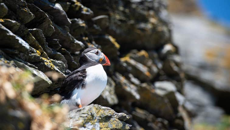 Puffin on rocks on Skellig Michael, Co. Kerry