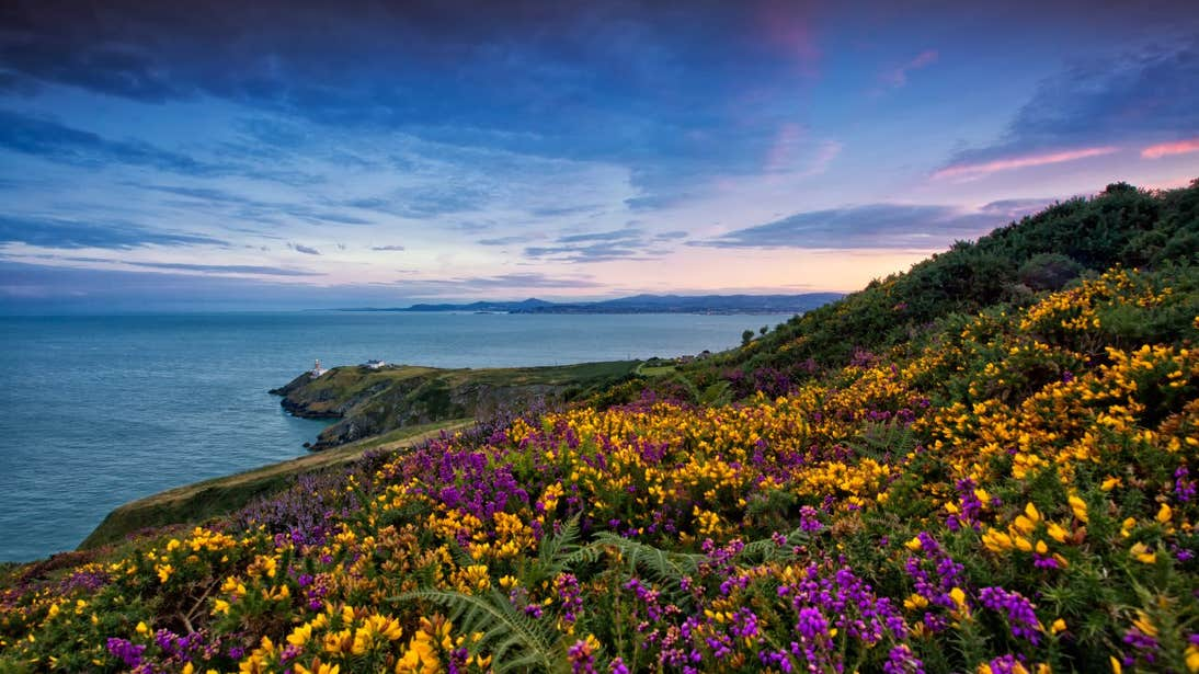 Flowers along the cliffs at Howth Head with sunset views in the background