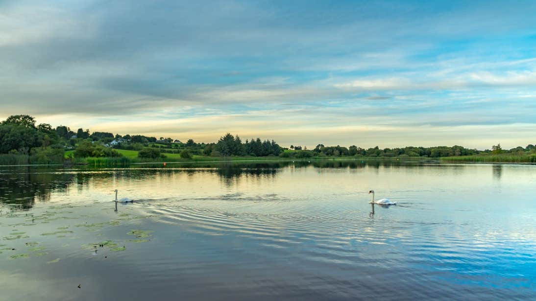 Swans floating on a lake with a backdrop of rich green meadows in Co. Longford