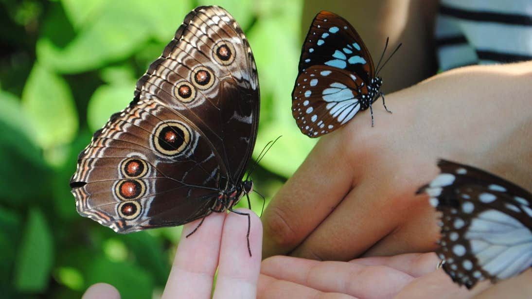 Three butterflies resting on people's hands in the Cambridge Glasshouse at Malahide Castle and Gardens, Dublin