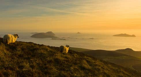 Sheep, with a view of the Blasket Islands, Co. Kerry