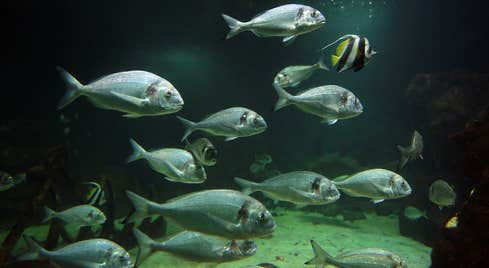 A school of grey fish and one yellow fish swim in a dark fish tank in Oceanworld Dingle County Kerry
