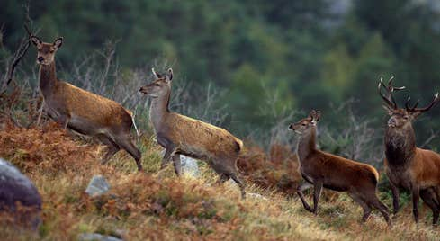Deer at Killarney National Park, County Kerry.