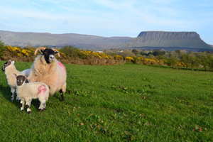 Sheep and lambs with Ben Bulben in the distance in County Sligo