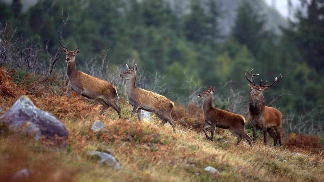 Four red deer walking through Killarney National Park, Kerry