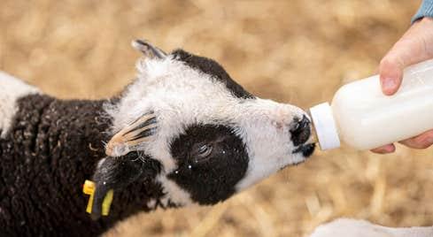 Sandy Feet Farm bottle feeding time