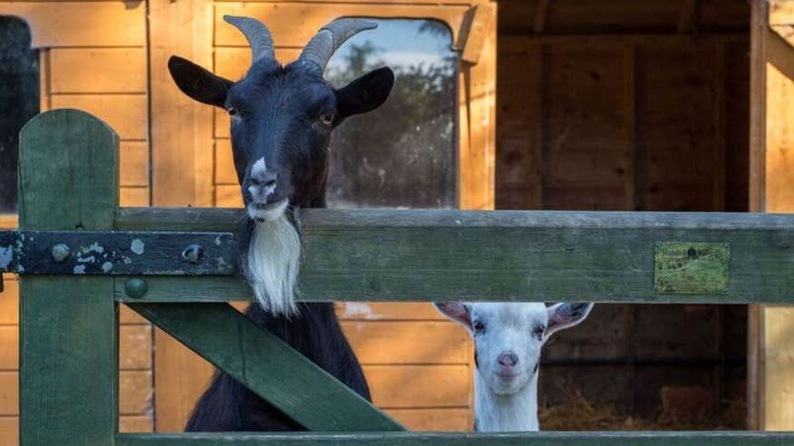 The kids will love seeing the goats at Lullymore Heritage Park.