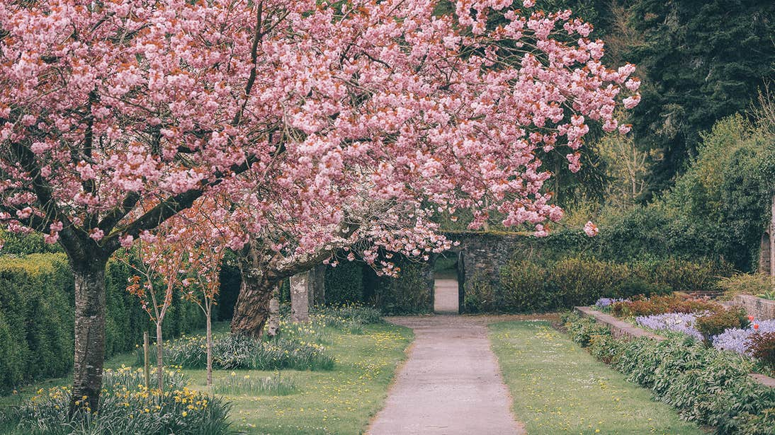 Cherry blossom trees and manicured lawns in the gardens of Birr Castle