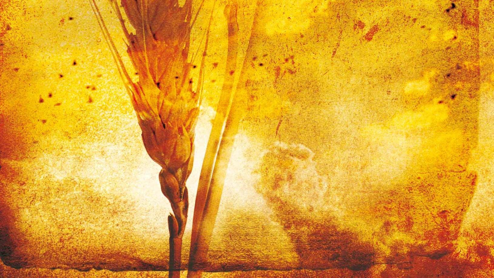 Close up watercolour painting of barley